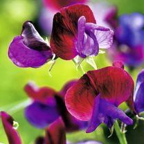 Sweet Pea Plants - Cupani (Species type)