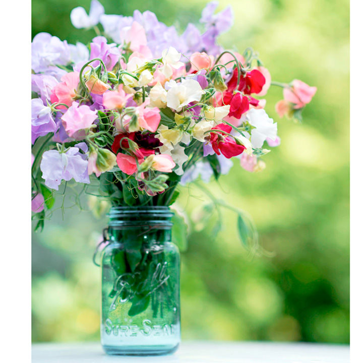 Sweet Pea Plants - Sublime Scent Mix