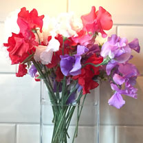 Sweet Pea Plants - Remembrance Mixed