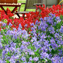 Sweet Pea Seeds - Bluebell Carpet