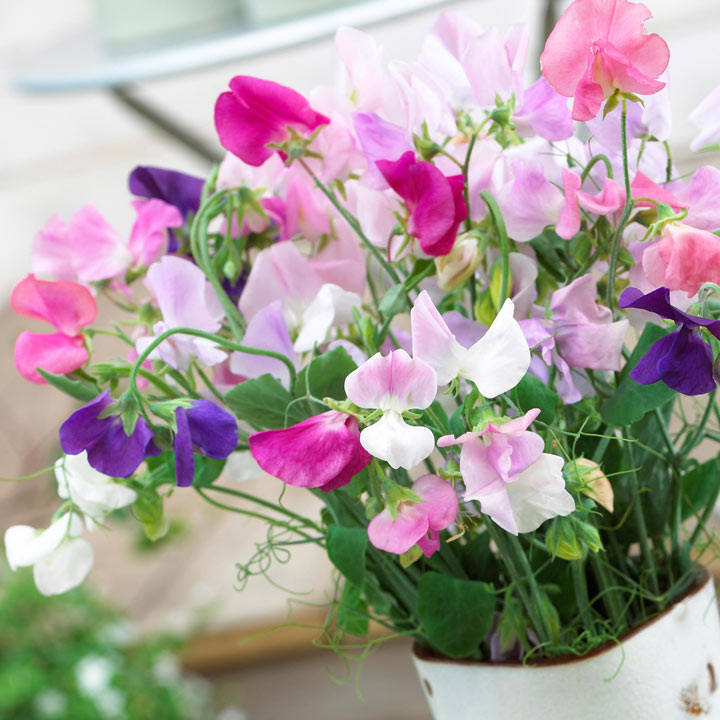 Sweet Pea Seeds - Jet Set Mixed