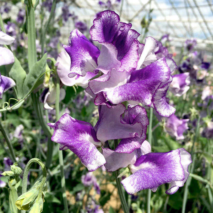 Sweet Pea Plants - Night Sky