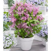 Syringa meyeri Plant - Flowerfesta® Pink