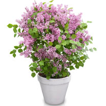 Syringa Plant - Flowerfesta Pink