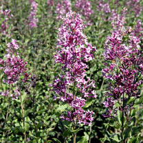 Syringa Plant - Bloomerang Dark Purple