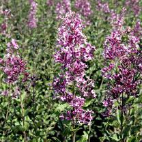 Syringa Plant - Bloomerang Dark Purple