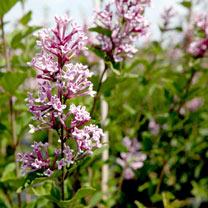 Syringa Plant - Josee