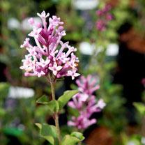 Syringa meyeri Plant - Palibin