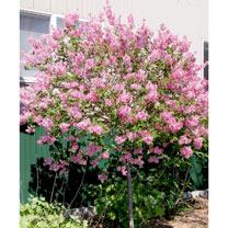 Syringa Plant - Tinkerbelle®