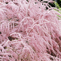 Blooming in late May, this species makes it possible to have the airy, pink flowers of tamarix in spring as well as summer. Perfect for the dry bed, t