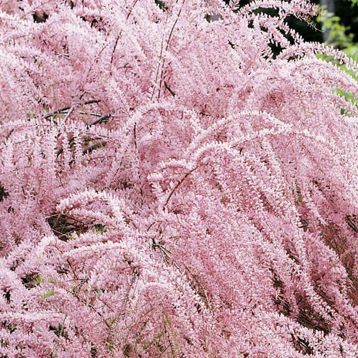 Tamarix tetrandra Plant