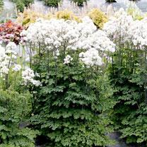 Thalictrum Plant - Nimbus White