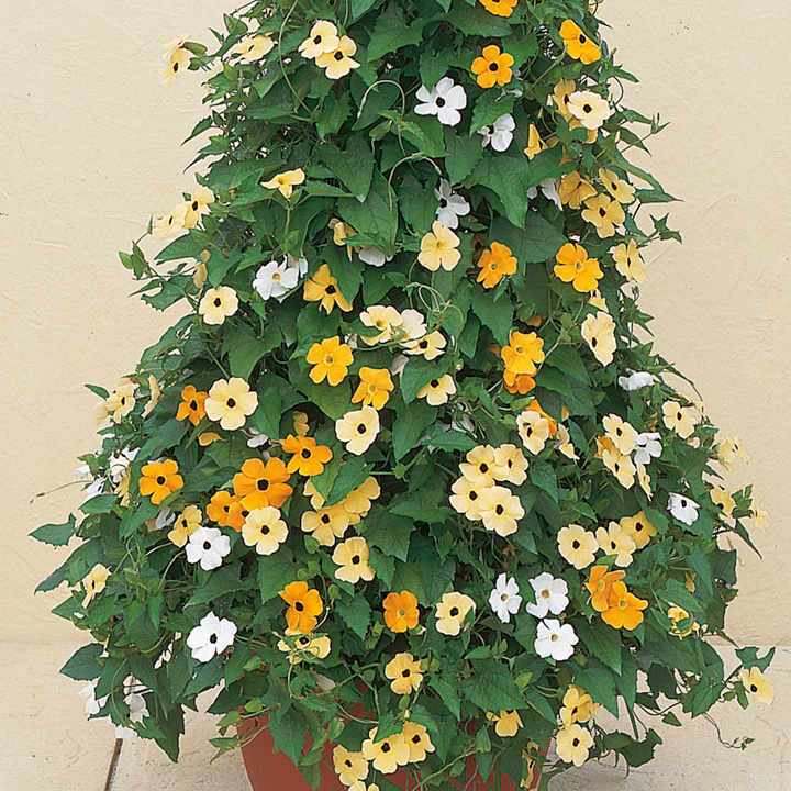 Thunbergia Alata Seeds -Susie