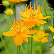 Trollius Plants - Golden Queen