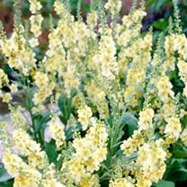 Verbascum Plant  Gainsborough