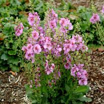 Verbascum Plant - Sugar Plum