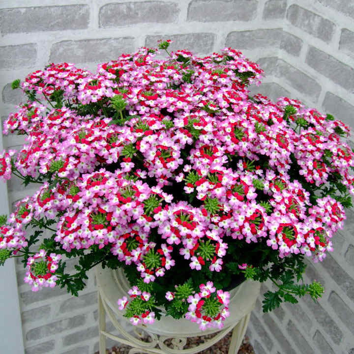 Verbena Plants - Red Rose