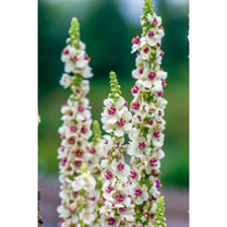 Verbascum Seeds - Snowy Spires