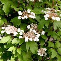 Viburnum sargentii Plant - 'Onondaga'