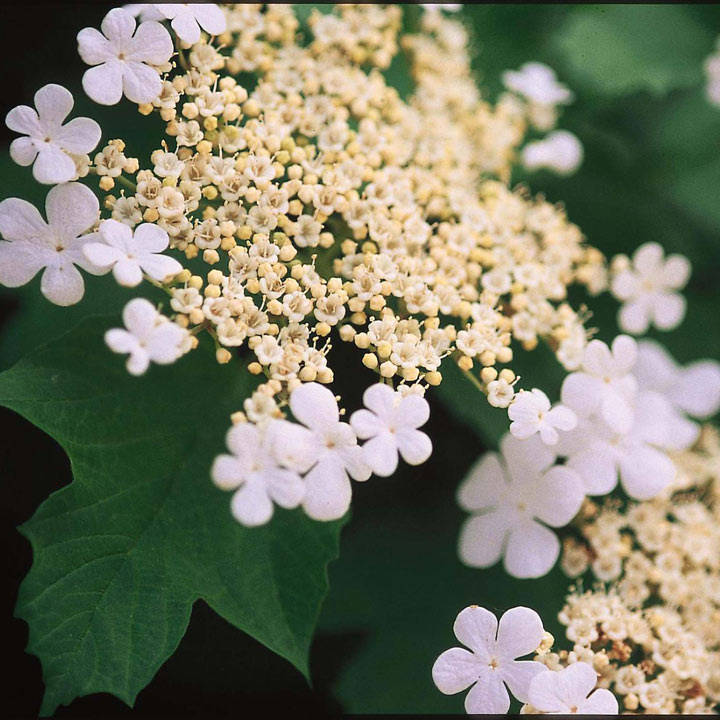 Viburnum trilobum Plant - Wentworth®