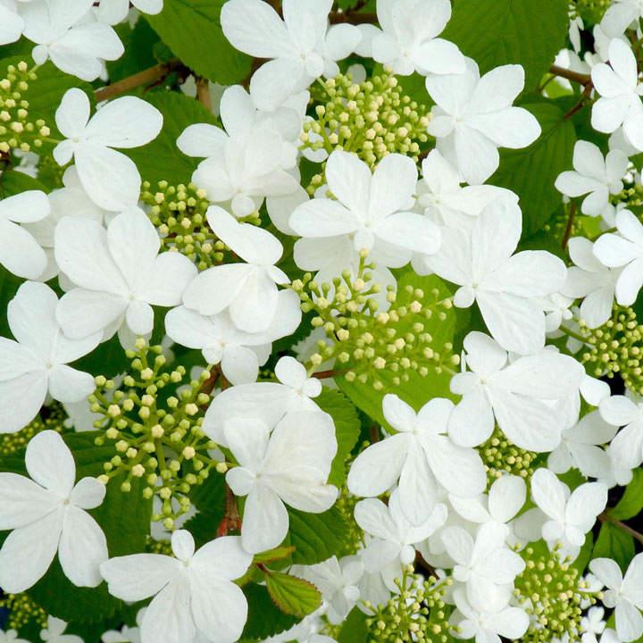 Viburnum plic. Plant - Kilimanjaro®