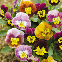 Compact little plants whose small flowers have whiskered markings resembgling little faces. Colours include violet-purple, mauve, lavender-blue, lilac