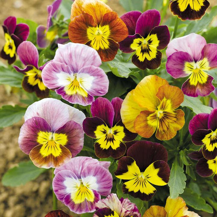 Viola Seeds - Funny Face