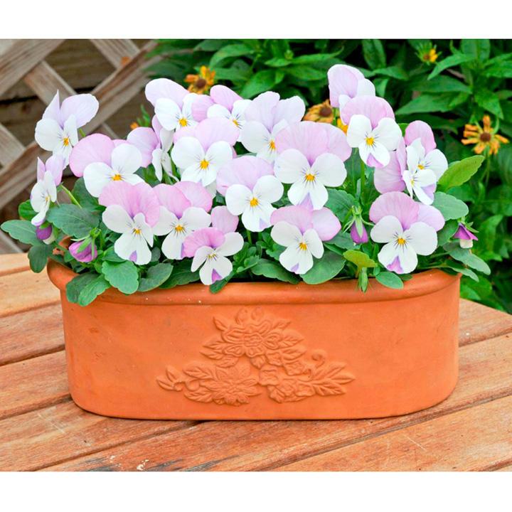 Viola Plants - Sorbet Pink Wing