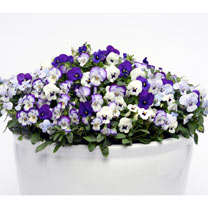 Viola Plants - Ocean Breeze