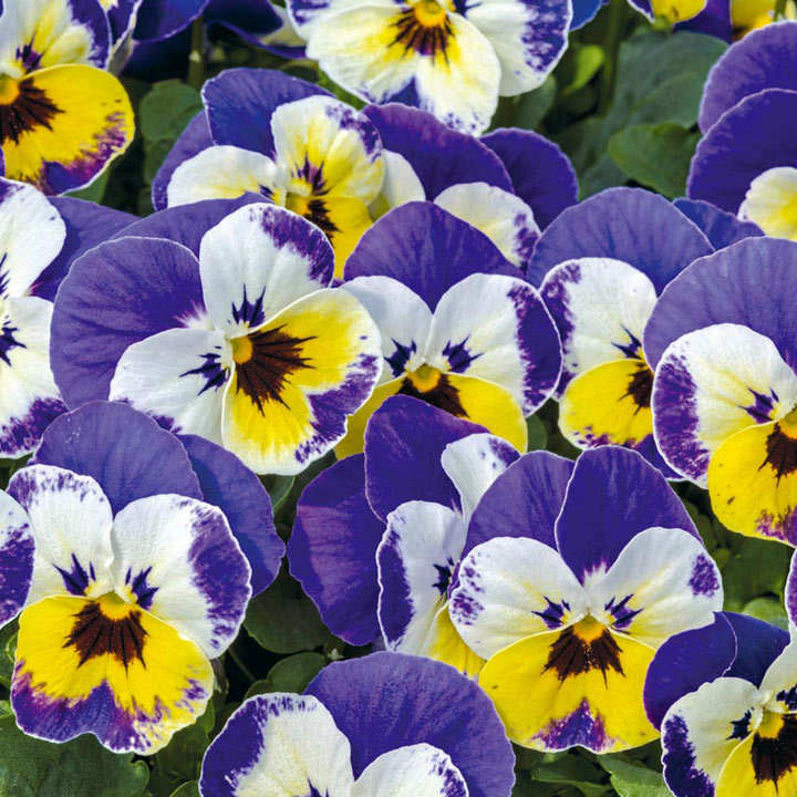 Viola Plants - Admire Jolly Face