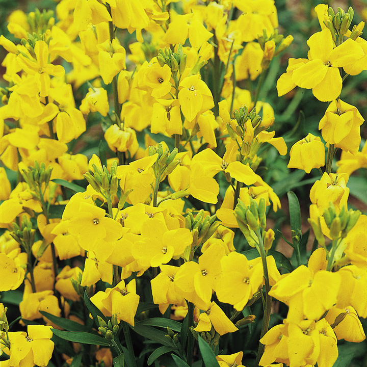 Wallflower Plants - Cloth of Gold