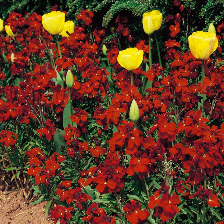 Wallflower Plants - Fire King