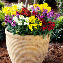 Wallflower Plants - Sugar Rush Mix