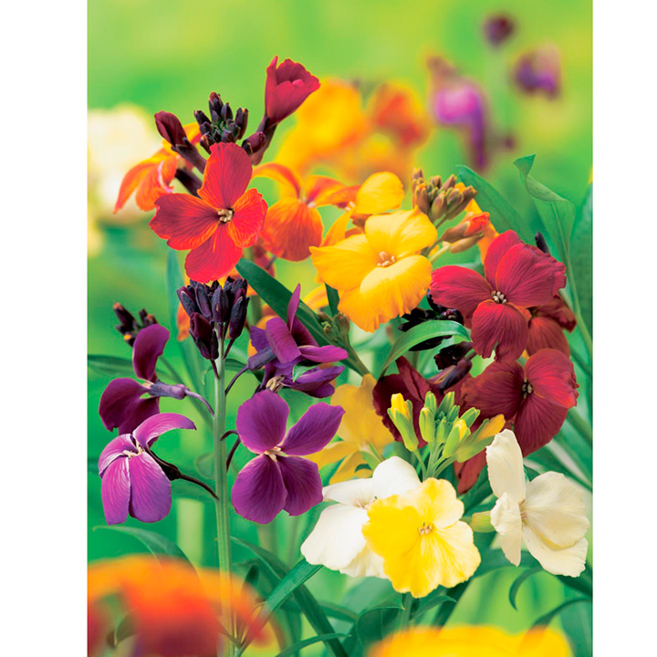 Wallflower Plants - Harlequin Mixed