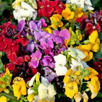 Wallflower Plants - Sugar Rush Mix