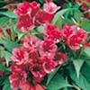 Weigela Plant - Bristol Ruby