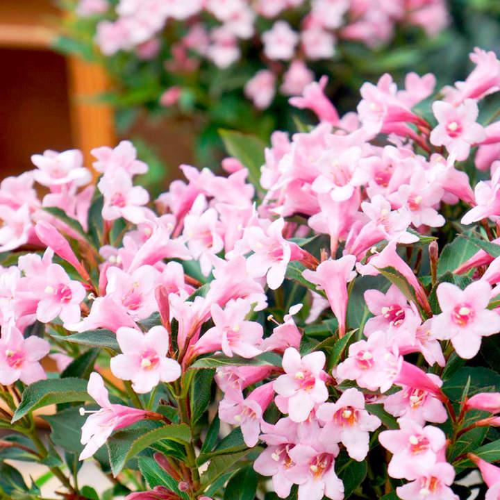 Weigela florida Plant - Pink Poppet