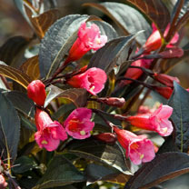 Commonly known by its marketing name Weigela Wine and Roses is a deciduous shrub with gorgeous burgundy-purple foliage. Flowering time: June-July. Att