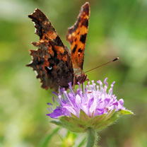 This butterfly mix contains over 30 native species of wildflower and includes many nectar-rich species. Attracts butterflies & other beneficial insect