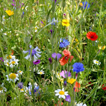This Colourful Annuals Mix contains 8 native species of annual Wildflower including easy-to-establish species such as common poppy and cornflower. Wil