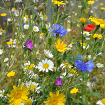 Wildflower Mix Seeds - Patio Pots