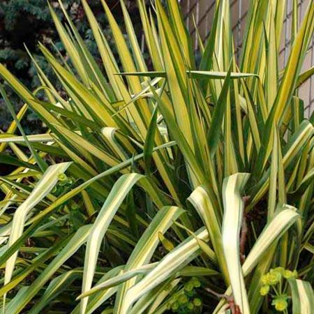 Yucca filamentosa Plant - Color Guard