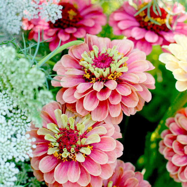Zinnia Plants - Queen Red Lime