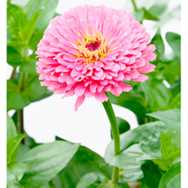 Zinnia Seeds - Illumination