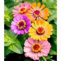 Zinnia Plants - Molotov Mix