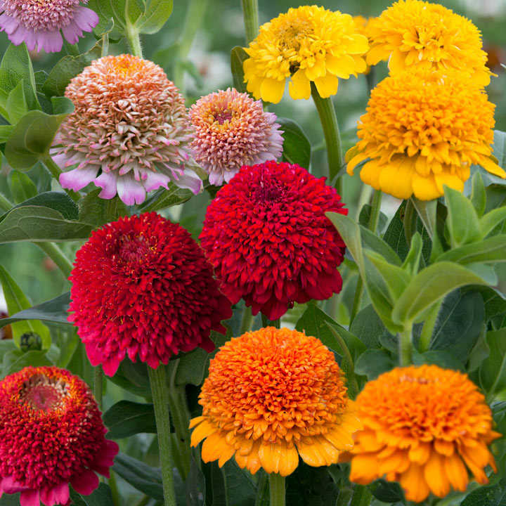 Zinnia Seeds - Dobies Faberge Selection