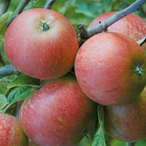 Image of Apple Tree - Queen Cox Self Fertile