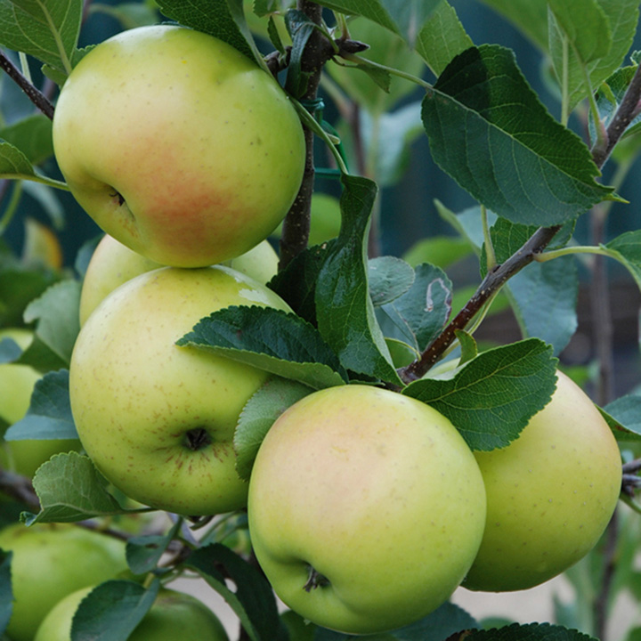 Apple Tree - Greensleeves