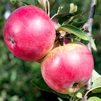 Image of Apple Tree - Worcester Pearmain