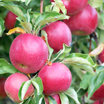 Image of Apple Dwarf Fruit Tree - Red Sun